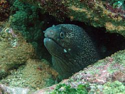 Hourglass moray eel - Isla de la Plata, Ecuador by Gyorgy Gutierrez 